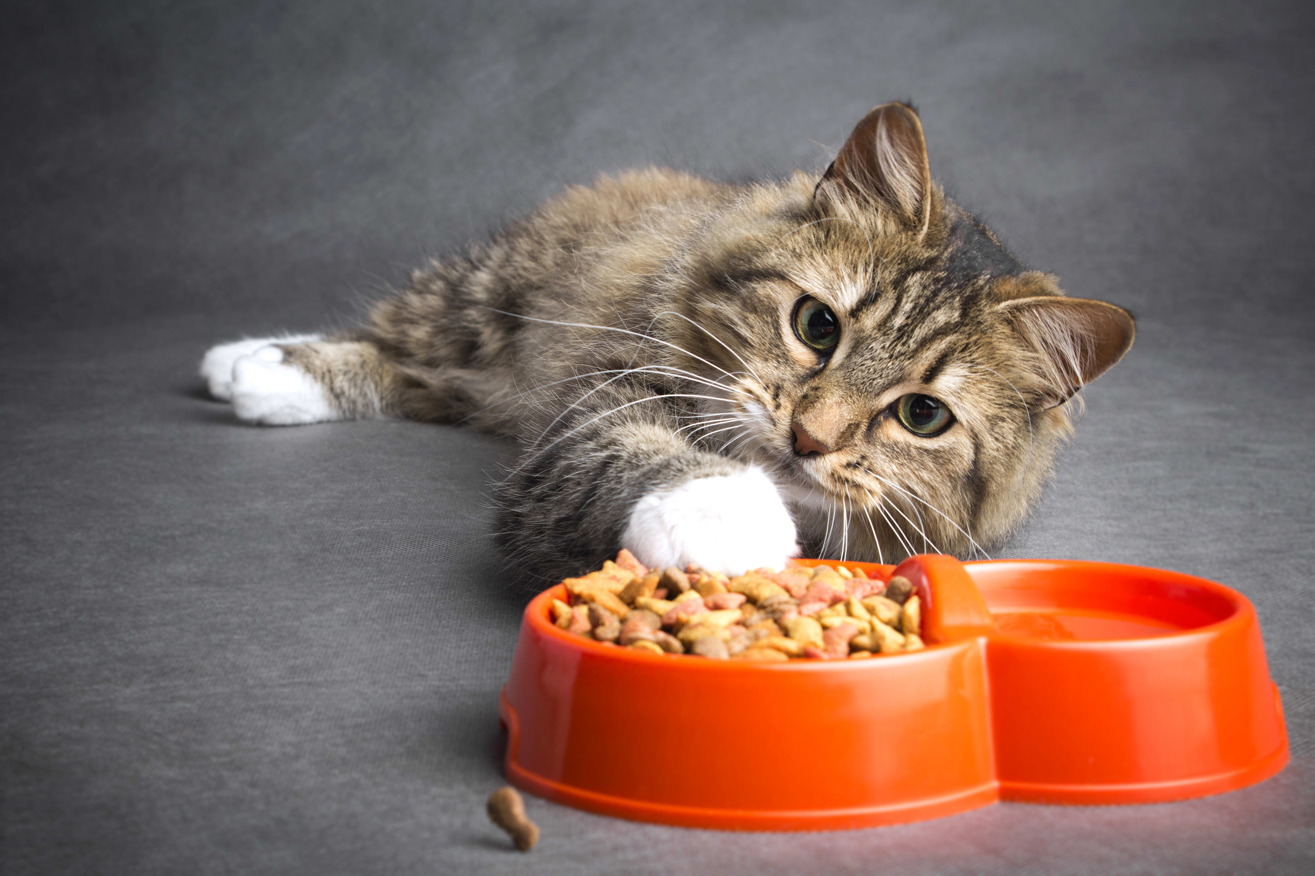 10 Reasons Why Your Cat is Not Eating | Bartlett vet | Hillcrest Animal Hospital