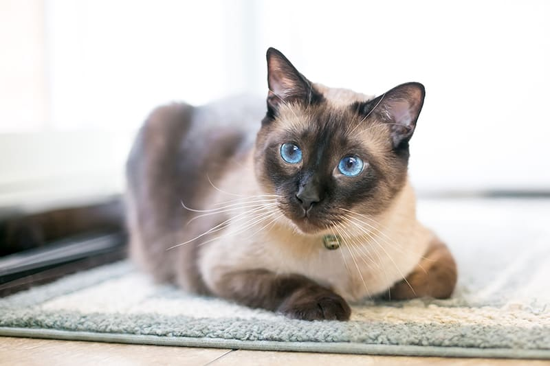 Asthma in Cats - Signs, Symptoms and Treatments, Memphis Vet